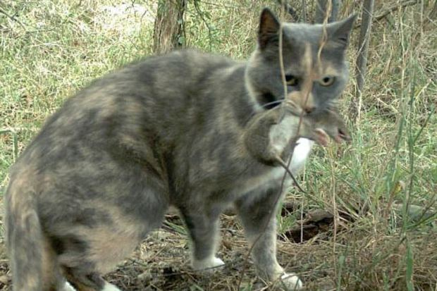 Cat with baby Bandicoot