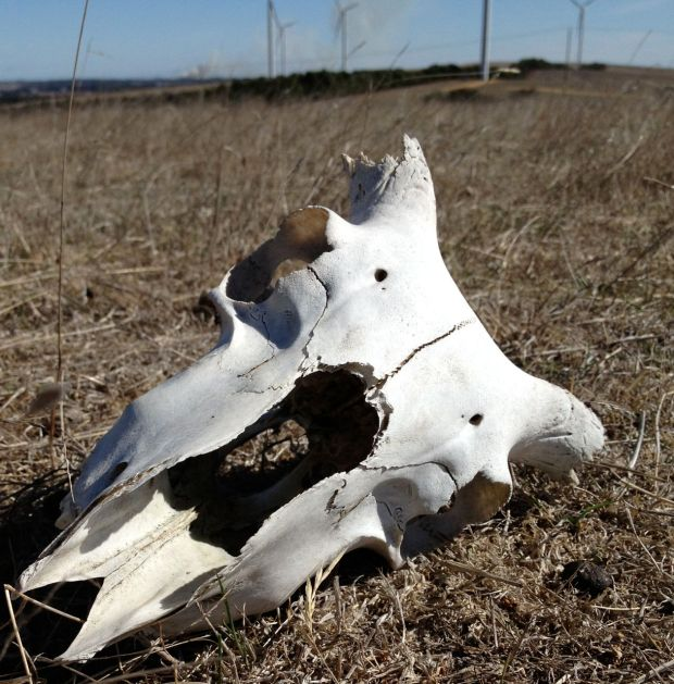 Sheep skull at Oaklands April 2013